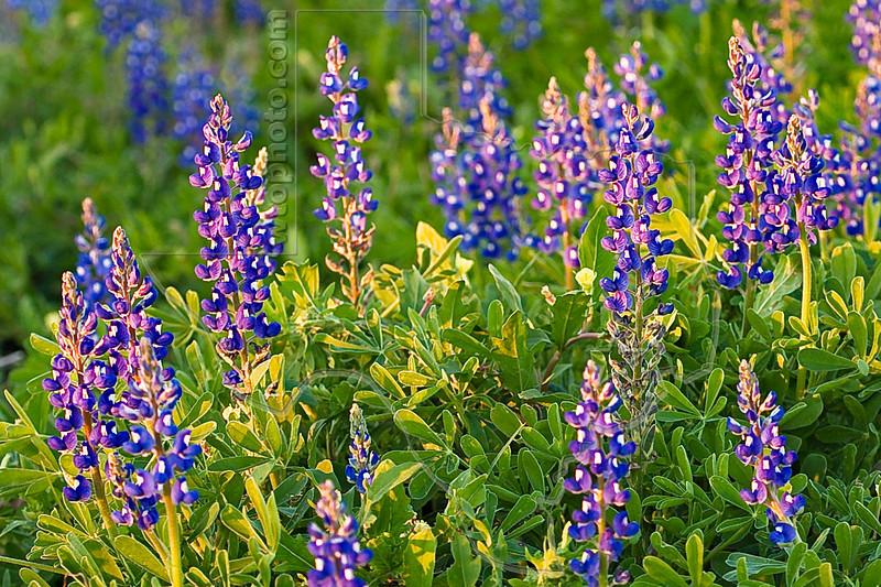 Texas Bluebonnets in Sunset Light (lupinus texensis)<br /> Nordheim, DeWitt County, Texas