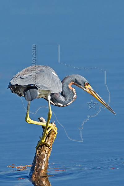 Tri-colored Heron,<br /> Brazos Bend State Park, Texas