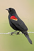 Red-winged Blackbird, Male<br /> Smith Woods, High Island, Texas