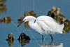 Snowy Egret, Eating Shrimp,<br /> East Beach, Galveston, Texas