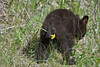 Black Bear Cub, Nature's Freshener,<br /> Near Medicine Lake,<br /> Jasper National Park, Alberta, Canada