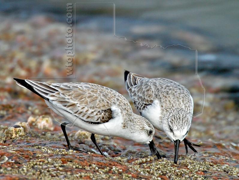 Sanderlings,<br /> Freeport Jetty, Texas