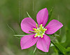 Meadow Pink or Texas Star (sabatia campestris),<br /> Nordheim, DeWitt County, Texas