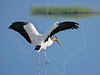 Wood Stork,<br /> Brazoria National Wildlife Refuge, Texas