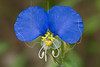 White-mouth Dayflower(Commelina erecta),<br /> Brazos Bend State Park, Texas