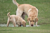 Puppy 'Buddy' and Friend 'Gus'<br /> Golden Retriever Puppy and Yellow Lab
