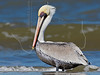 Brown Pelican,<br /> East Beach, Galveston, Texas