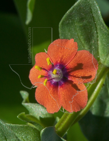 Scarlet Pimpernel (anagallis arvensis),<br /> Nordheim, DeWitt County, Texas