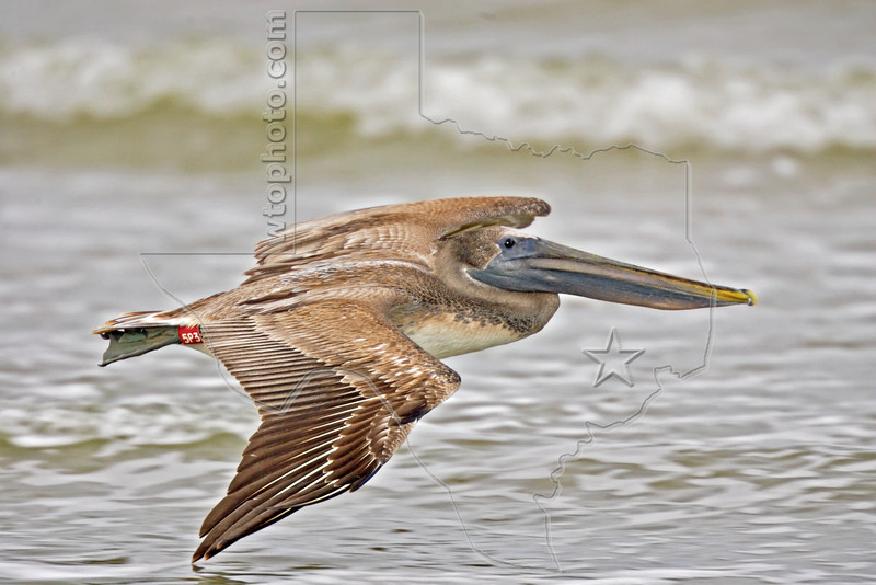 "Juvenile Brown Pelican ""5P3"",<br /> East Beach, Galveston, Texas"