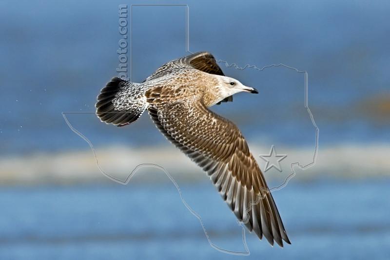 Juvenile Herring Gull, Flight,<br /> East Beach, Galveston, Texas