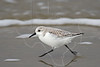Sanderling<br /> Galveston, Texas, East Beach