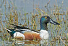 Northern Shoveler, Male,<br /> Brazoria National Wildlife Refuge