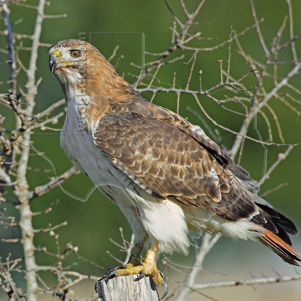 Red-tailed Hawk,<br /> Nordheim, Texas