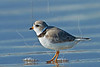 Piping Plover,<br /> East Beach, Galveston, Texas