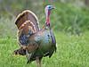 Wild Turkey,<br /> Aransas National Wildlife Refuge, Texas