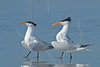 Royal Terns, Mating Behavior<br /> San Louis Pass, Texas