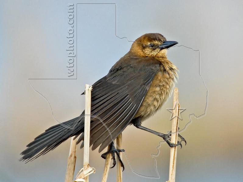 Boat-tailed Grackle, Female,<br /> Brazoria National Wildlife Refuge, Texas