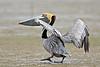 Brown Pelican,<br /> Bolivar Flats, Texas