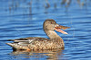 Female North Shoveler Duck,<br /> Brazoria National Wildlife Refuge, Texas