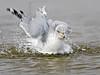 Ring-billed Gull, Bathing,<br /> East Beach, Galveston, Texas