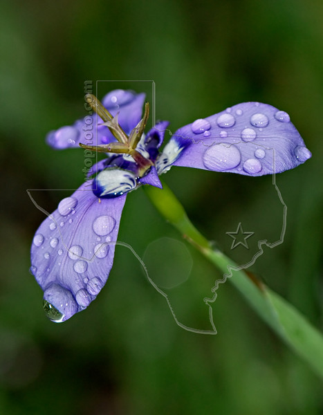 Herbertia (alophia drommondii),<br /> Nordheim, DeWitt County, Texas