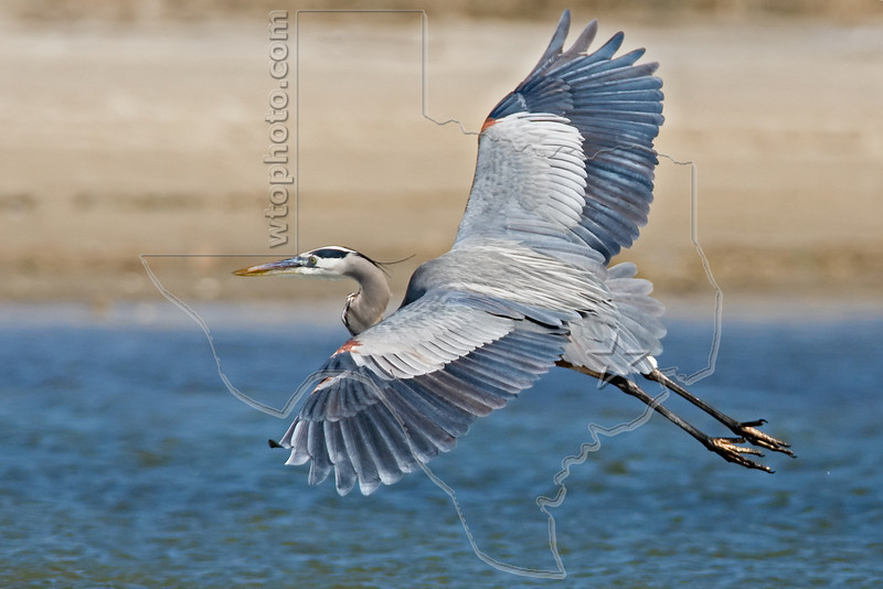 Great Blue Heron, Flight,<br /> East Beach, Galveston, Texas