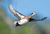 American Widegeon Duck, Male, Flight,<br /> Nordheim, Texas