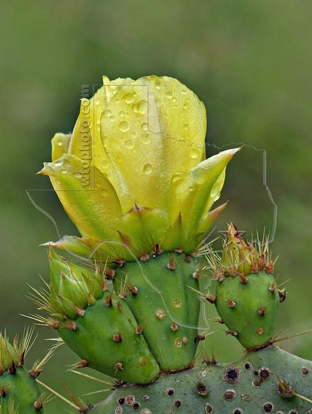 Texas Prickly Pear, (opuntia lindheimeri),<br /> Nordheim, DeWitt County, Texas
