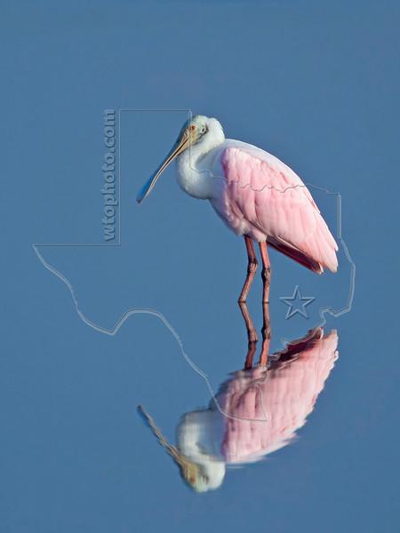 Roseate Spoonbill<br /> Brazoria National Wildlife Refuge, Texas