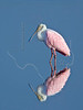 Roseate Spoonbill<br /> Brazoria National Wildlife Refuge, Texas