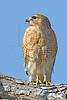Red-shouldered Hawk,<br /> Brazos Bend State Park, Texas