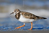 Ruddy Turnstone,<br /> East Beach, Galveston, Texas