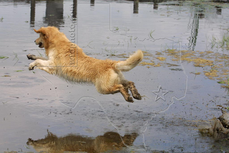 Dog 'Jake' Jumping into Water,<br /> Golden Retriever Jumping after Stick