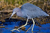 Little Blue Heron,<br /> Brazos Bend State Park, Texas
