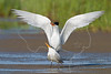 Royal Terns, Courtship,<br /> Bolivar Flats, Texas