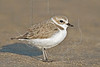 Snowy Plover,<br /> San Louis Pass, Texas