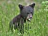 Black Bear Cub,<br /> Near Medicine Lake,<br /> Jasper National Park, Alberta, Canada