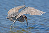 Reddish Egret, Hunting,<br /> San Louis Pass, Texas