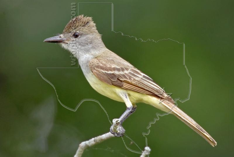 Ash-throated Flycatcher,<br /> Nordheim, Texas