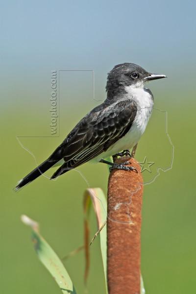 Eastern Kingbird,<br /> Brazoria National Wildlife Refuge, Texas