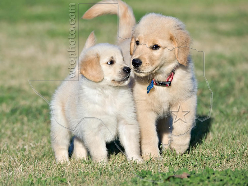 Puppies 'Willie' and 'Buddy'<br /> Golden Retriever Puppies
