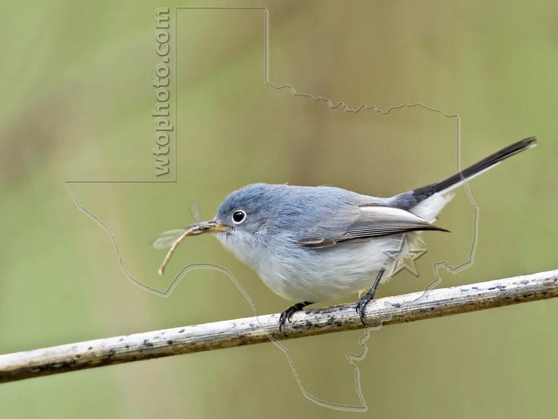 Blue Gray Gnatcatcher,<br /> Brazos Bend State Park, Texas