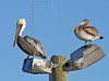 Adult and Juvenile Brown Pelicans,<br /> Goose Island State Park, Texas