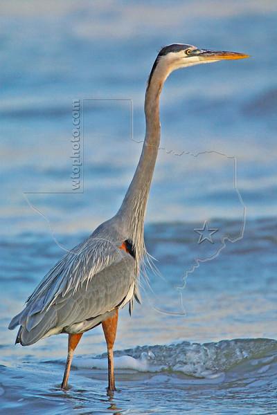 Great Blue Heron, Sunset,<br /> East Beach, Galveston, Texas