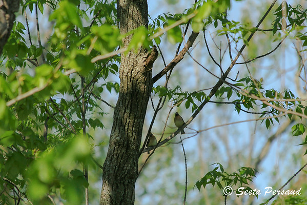Cedar Waxwings perched in Amherst State Park, NY