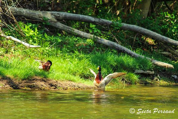 Mallards in Amherst State Park