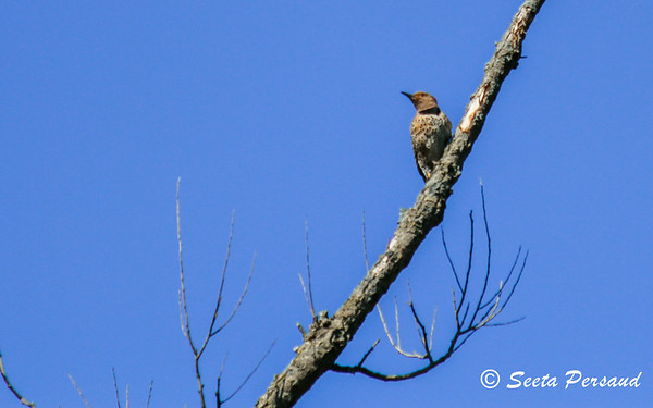 Northern Flicker, Amherst State Park, NY