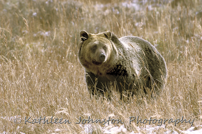 A grizzly bear in early Fall snow, Yellowstone National Park.