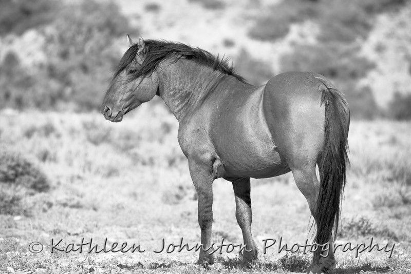 Wild Horse in Bighorn Canyon, Wyoming