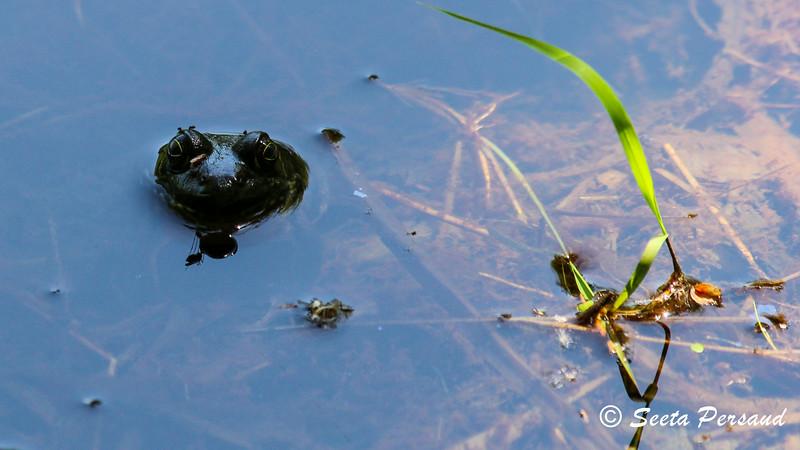 Frog Spy